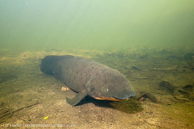 Underwater photo of an Australian lungfish (Neoceratodus forsteri) in Queensland's Mary River