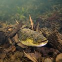 Australian Lungfish, Mary River Turtle & Long-finned Eel: Freshwater Finds In Queensland's Mary River
