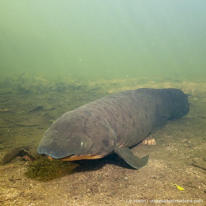 Queensland Lungfish Video