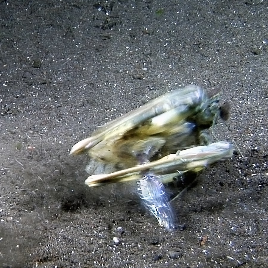Video Of Mantis Shrimp Catching A Fish
