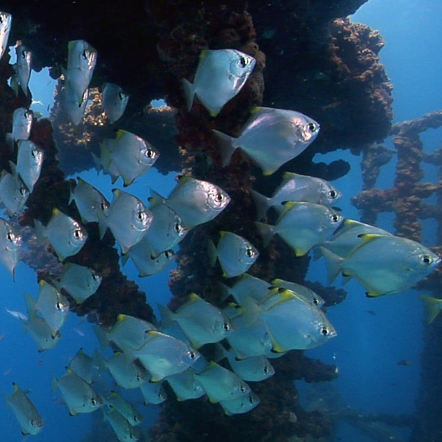 Video With Underwater Footage Showing A Scuba Diver's View Of The Marine Life On The Wreck Of The HMAS Brisbane On Queensland's Sunshine Coast (Australia)