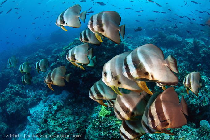 Underwater photograph of a school of batfish / spadefish (Platax teira) hovering together in the current