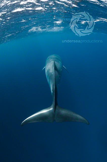 Fluke (tail) of a Dwarf Minke Whale