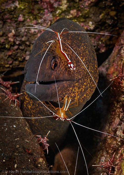 Moray eel (Gymnothorax flavimarginatus) and a pair of cleaner shrimp (Lysmata amboinensis) at a cleaning station