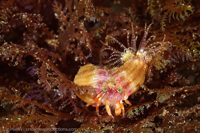 Underwater photo of an Anemone Hermit Crab carrying two anemones, and walking through algae. Photographed at night in Indonesia.