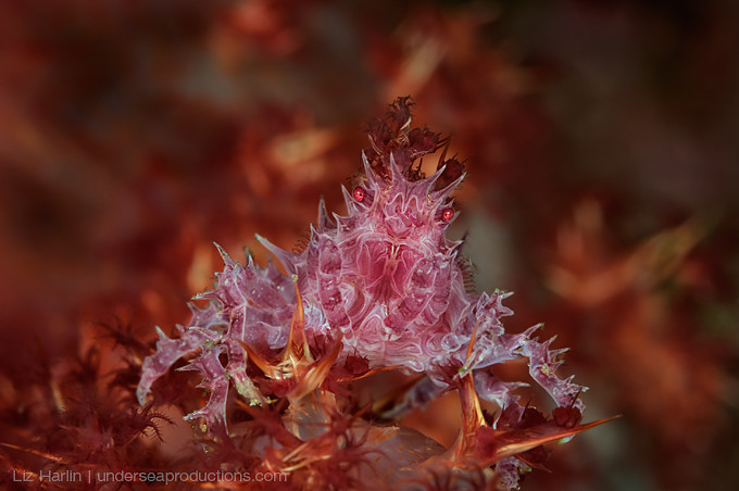 Underwater macro photograph of a pink-purple Soft Coral Crab (Hoplophrys oatesii)