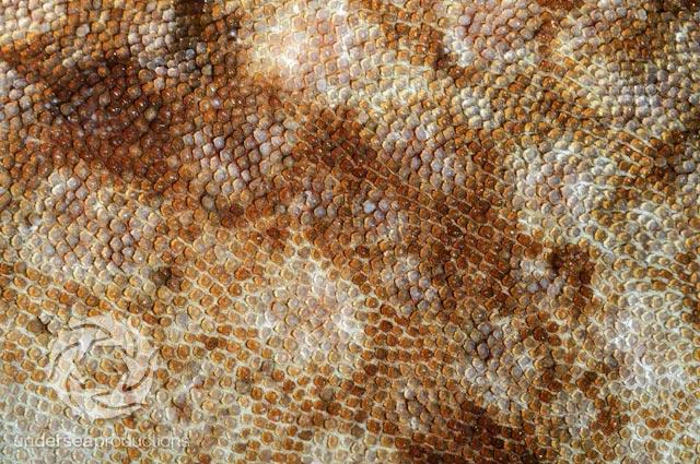 Wobbegong shark skin, dermal denticles