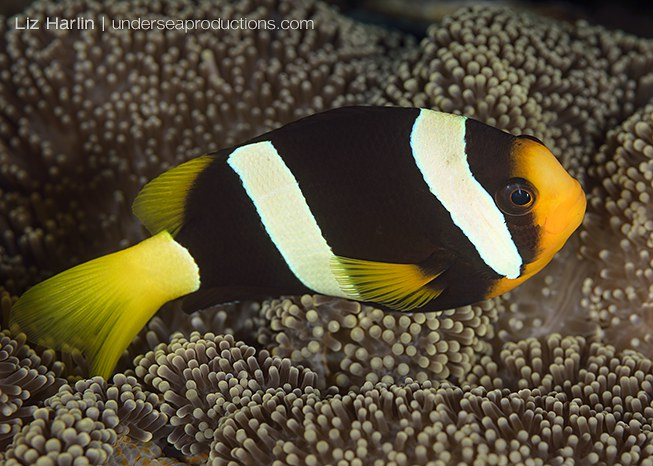 Underwater photo of a Clark's anemonefish (Amphiprion clarkii), photographed in the Solomon Islands