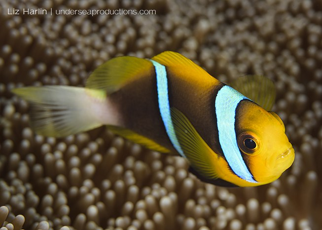 Underwater photo of Orange-fin Anemonefish (Amphiprion chrysopterus), photographed in the Solomon Islands