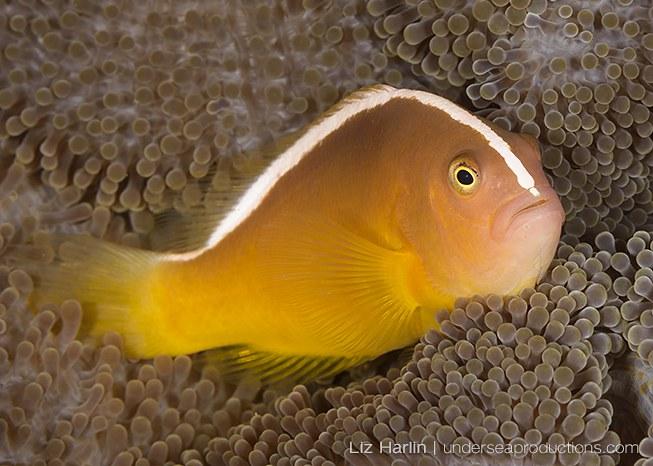 Underwater photo of Orange skunk anemonefish (Amphiprion sandaracinos), photographed in the Solomon Islands