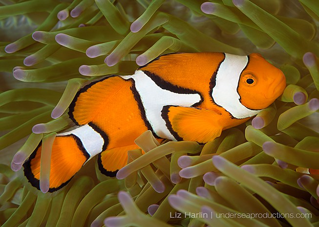 Clownfish, Amphiprion percula