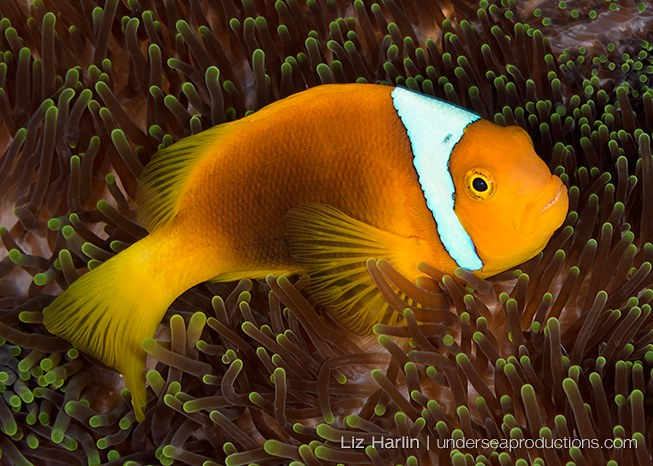 Underwater photo of a White-bonnet anemonefish (Amphiprion leucokranos), photographed in the Solomon Islands