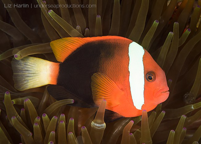 Underwater photo of Red-and-black anemonefish (Amphiprion melanopus), photographed in the Solomon Islands