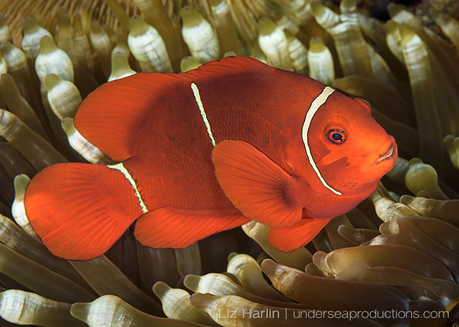 Underwater photo of a Spinecheek anemonefish (Premnas biaculeatus), photographed in the Solomon Islands
