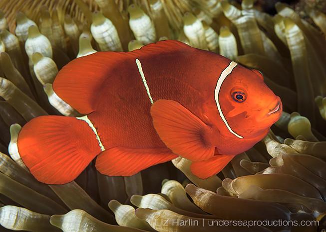 Underwater photo of a Spinecheek anemonefish (Premnas biaculeatus), photographed in the Solomon Islands