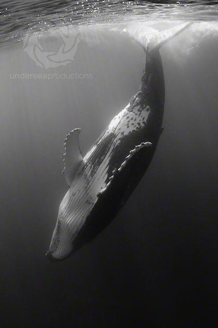 Underwater black-and-white photograph of a female humpback whale, head down, tail splashing the water's surface, in Tonga.