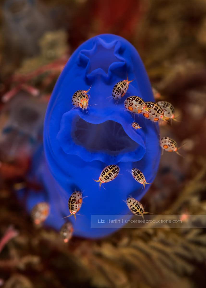 Nikon D810, Nikon 105mm macro lens, f25, 1/160th sec, ISO 160, two strobes Photographed in Komodo, Indonesia