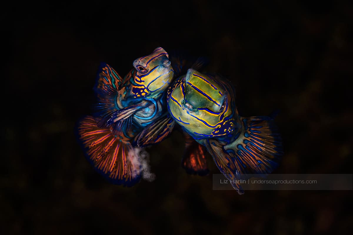 Male and female pair of mating mandarinfish swimming cheeck-to-cheek and spawning