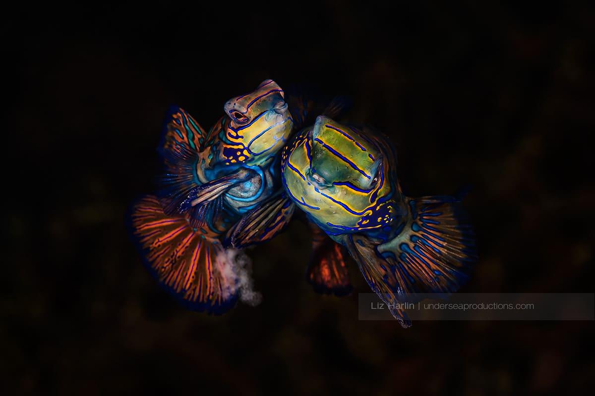 Male and female pair of mating mandarinfish swimming cheeck-to-cheek and spawning