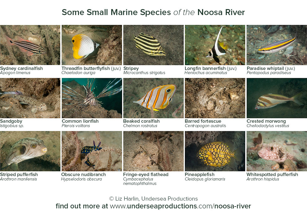 photos of underwater animals (fish and invertebrates) living in the Noosa River