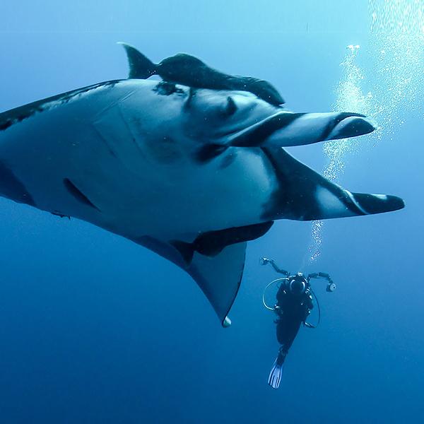 Marine Life Of The Socorro Islands (Revillagigedo Archipelago): 4K Underwater Video & Species Shot List. Professionally Filmed On Location In March 2017...