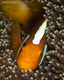 anemonefish solomon islands