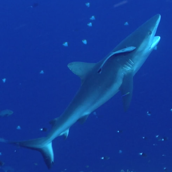 Grey Reef Shark Cleaning Station